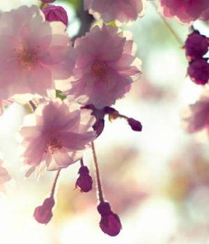 cerisiers-en-fleurs-japon