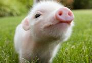 wtf-beaute-boisson-placenta-porc-180×124