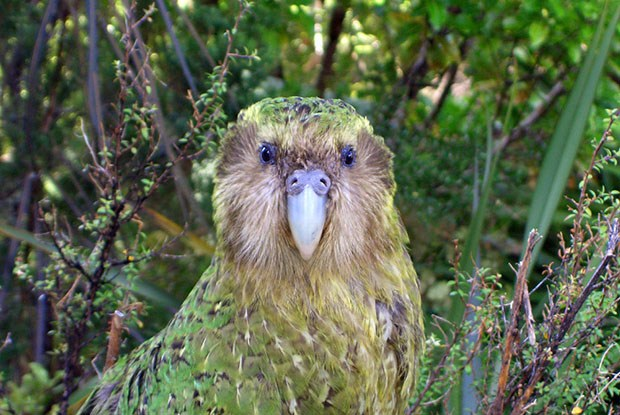 Le kakapo, cet animal extraordinaire(ment con)