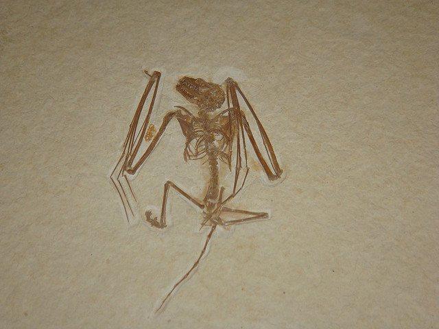 Notons que la chauve-souris est un mammifère. Ses ailes sont en réalité… des mains. (cc by-saAndrew Savedra)