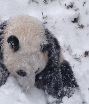 bao-bao-panda-decouvre-neige