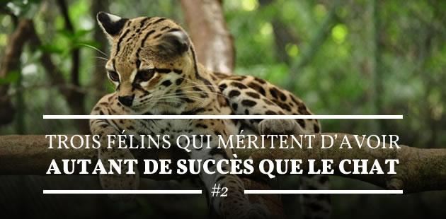 big2-felins-succes-chat-2