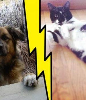 clash-chat-contre-chien