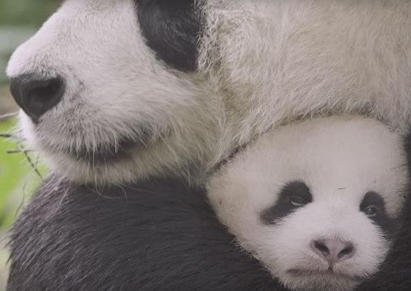 job-calin-pandas